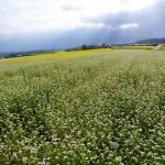 八ヶ岳南麓のソバ畑